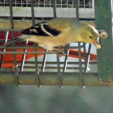 goldfinch male winter